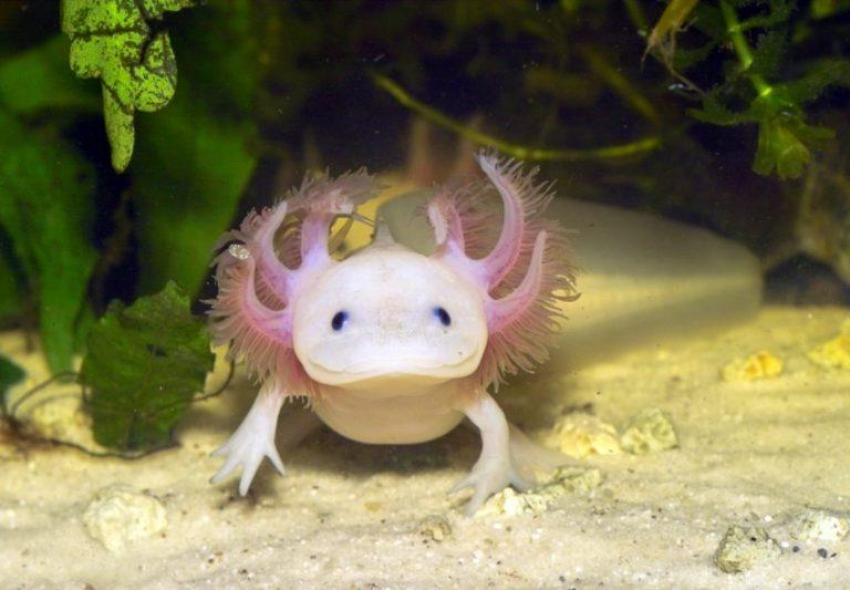axolotl-768x533