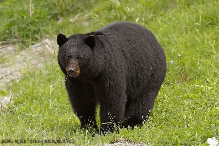 oso-negro-1-768x512